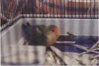 Lovebird - &quoteBird&quote - December 2003