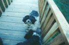 Gizmo - Tibetan Terrier