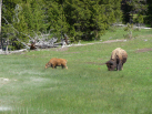 Bison and Calf from 50 Yards
