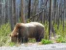 Grizzly Bear From 15 Feet (We Were Safely in the Truck)