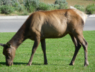 Elk Near Mammoth Hot Springs