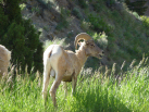 Big Horned Sheep Next to the Road