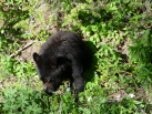 Black Bear Cub From 6 Feet (Right Next to the Truck!)