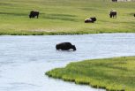 Bison Crossing the Yellowstone River in a Meadow