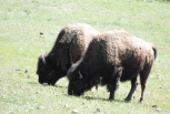 Bison from 15 feet