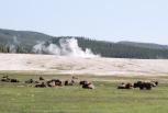 Part of a Herd of Hundreds Near a Geyser Basin