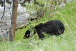 Black Bear From 20 Yards