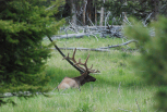 Big Elk (People Walked Right Up Next To It!)